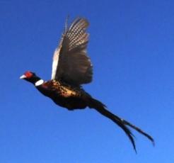 Flying_pheasant Webb